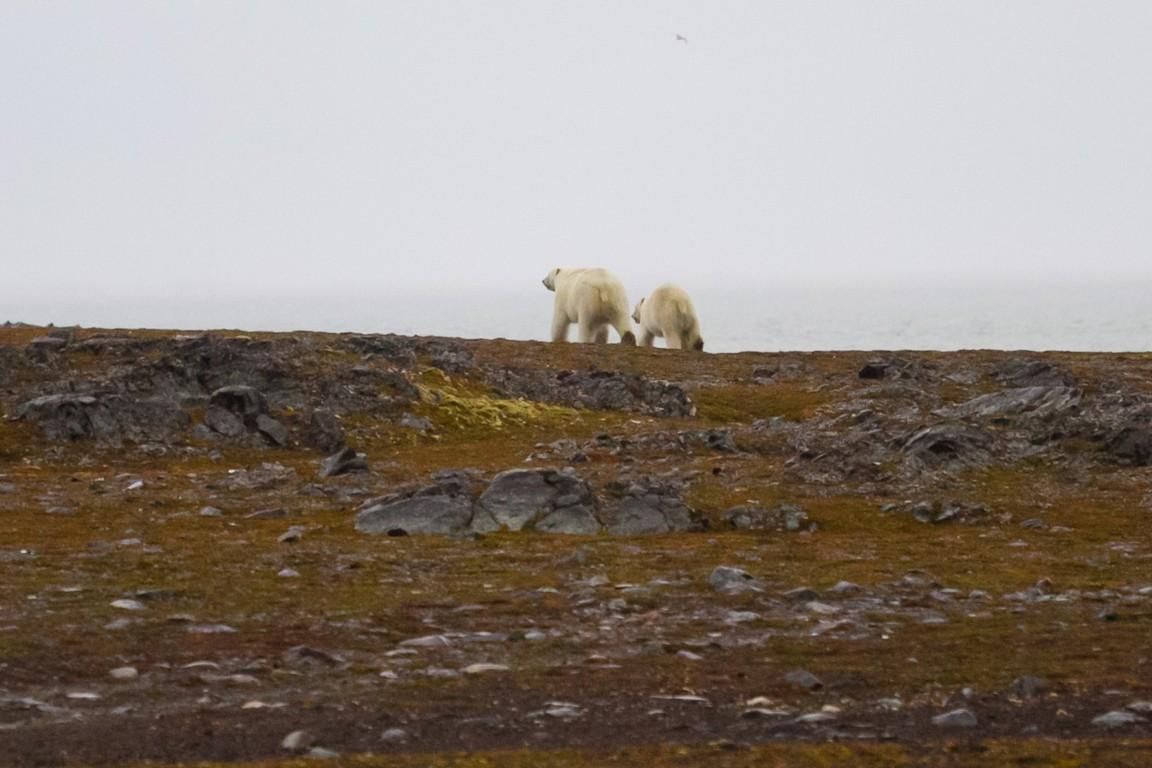 Samica niedźwiedzia polarnego z młodym