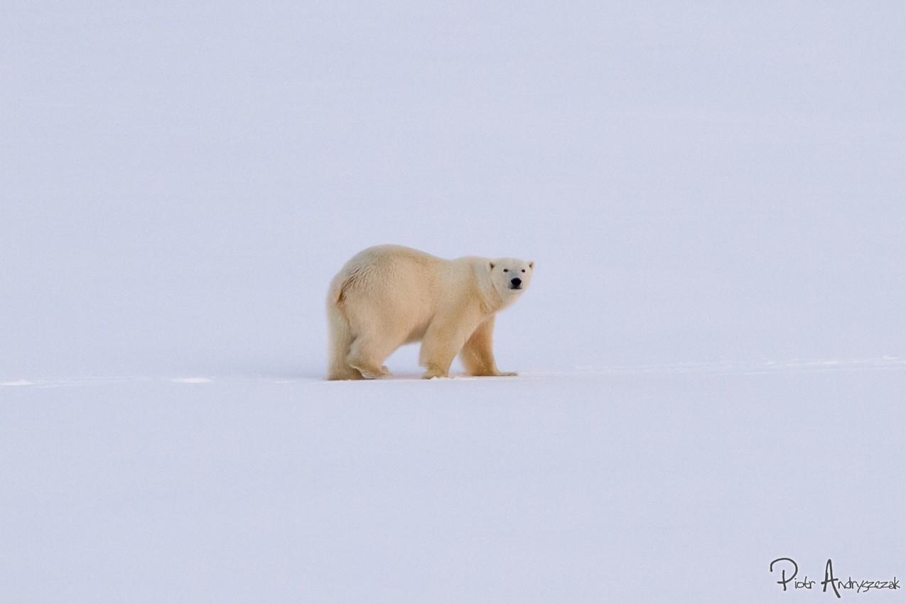 Niedźwiedzie odwiedziny
