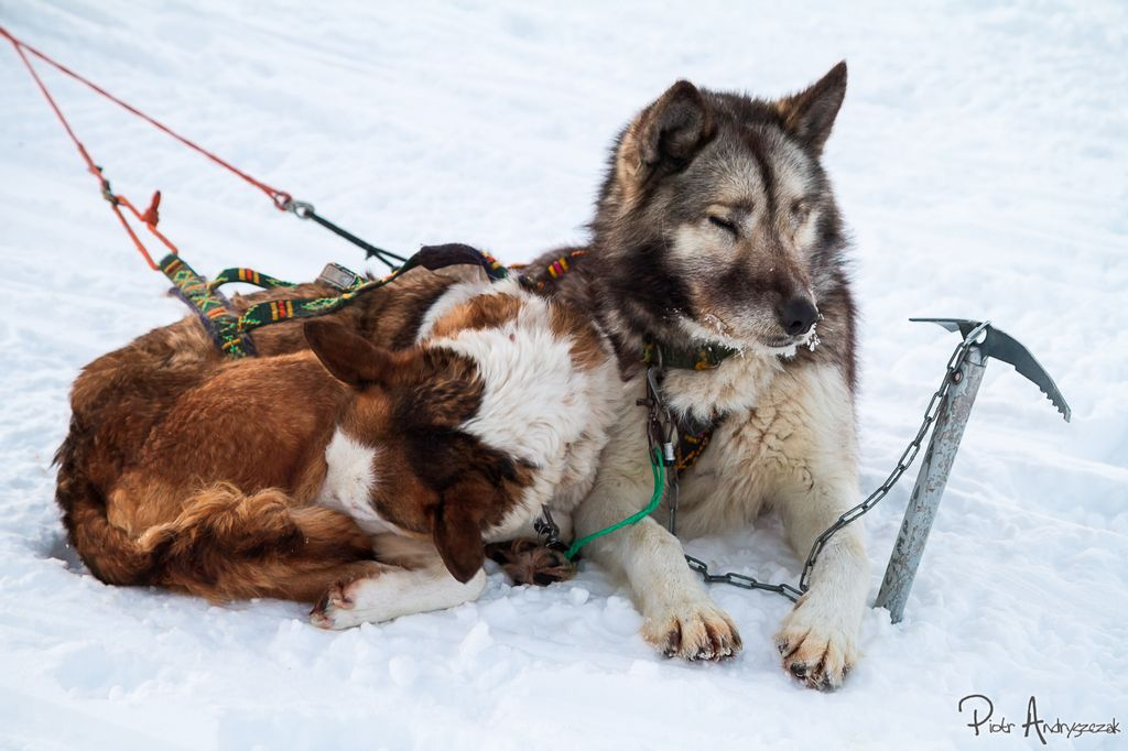 Psi zaprzęg z Longyearbyen