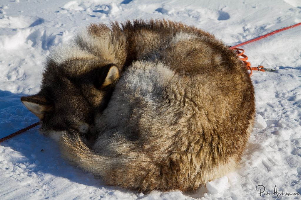 Rudzielec z Longyearbyen
