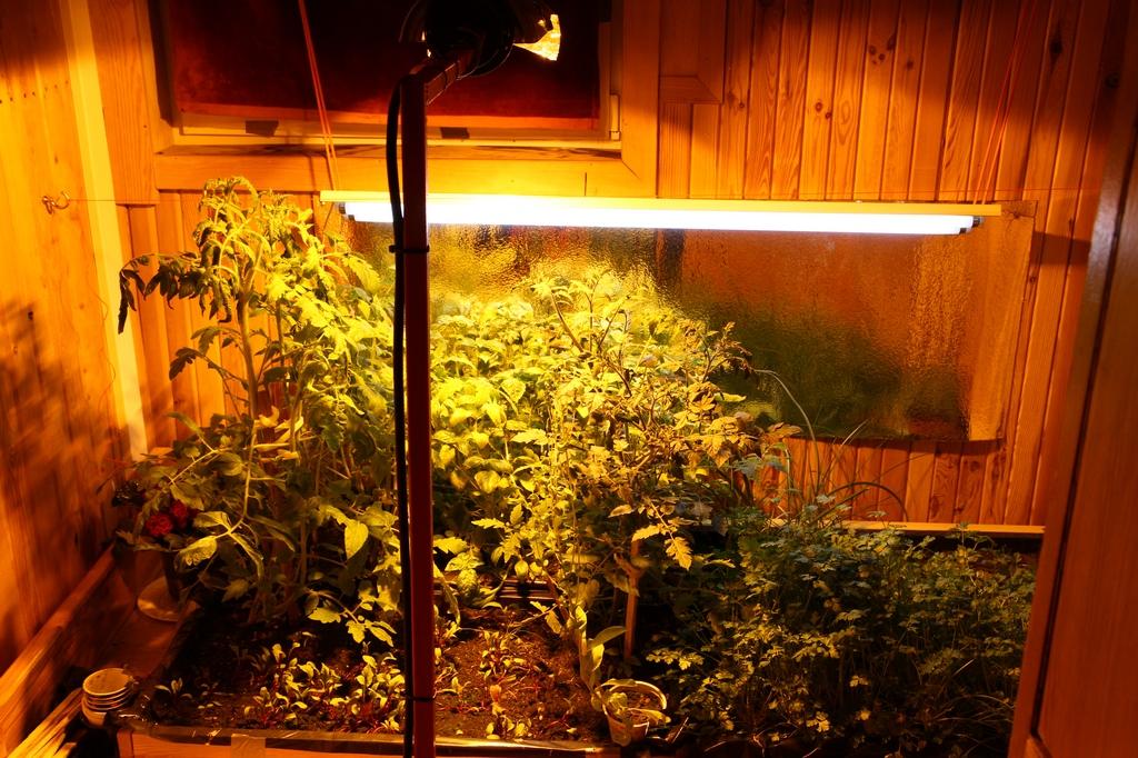Pomidory koktajlowe wygrzewają się pod lampą sodową