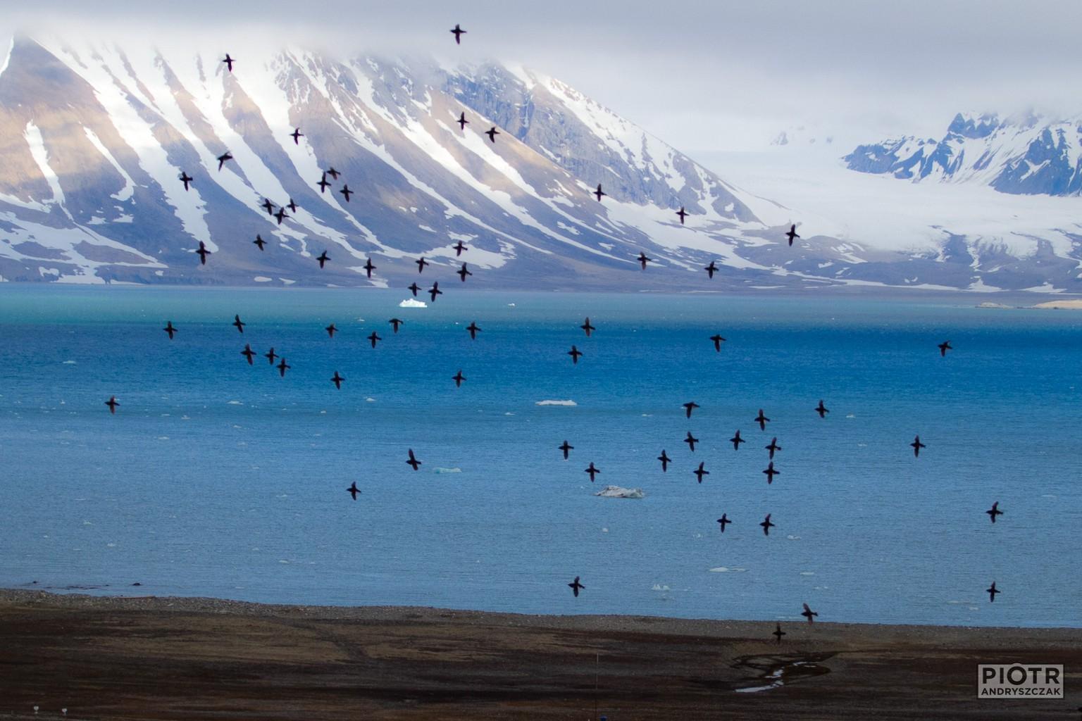 Alczyki na tle fiordu