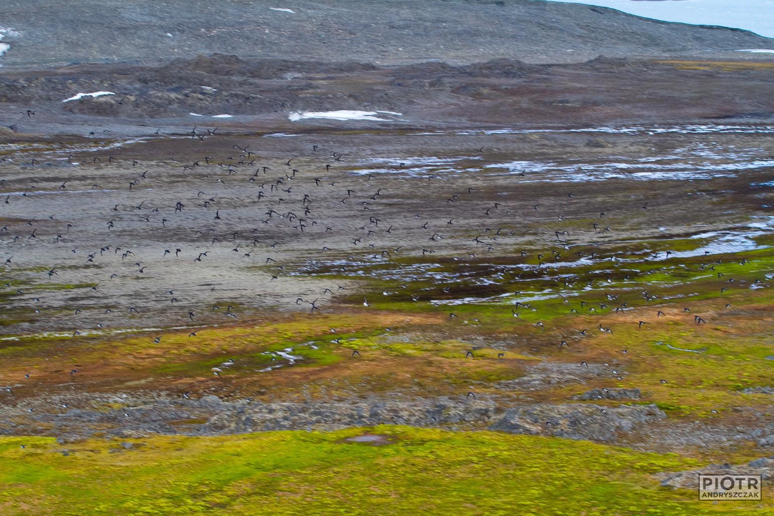 Stada alczyków nad tundrą