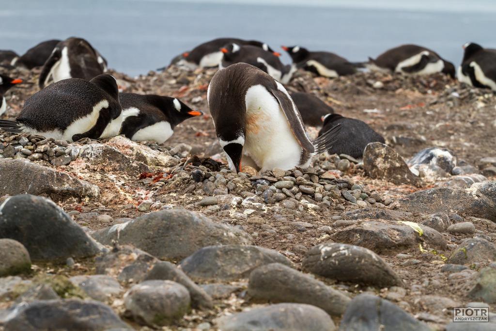 Pingwin na gnieździe
