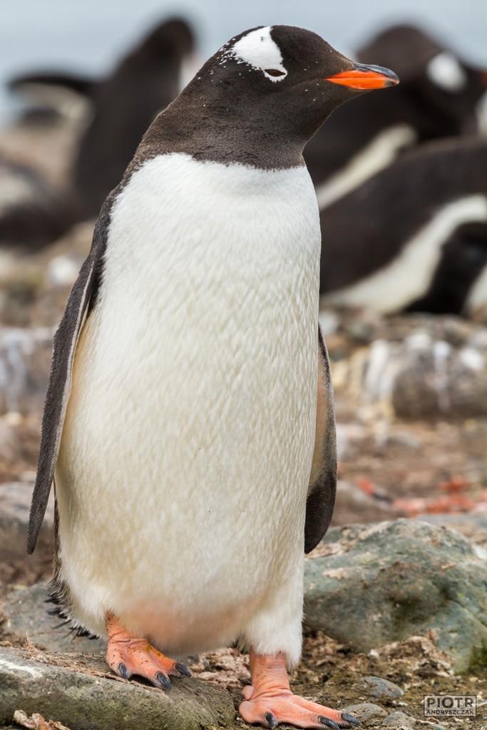 """Pingwin białobrewy (pot. dżentuś od  ang. """"gentoo penguin"""""""