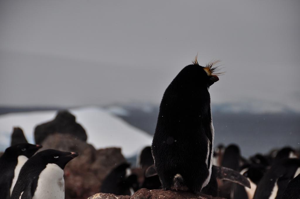 Pingwin złotoczuby - samotny gość w kolonii adelek
