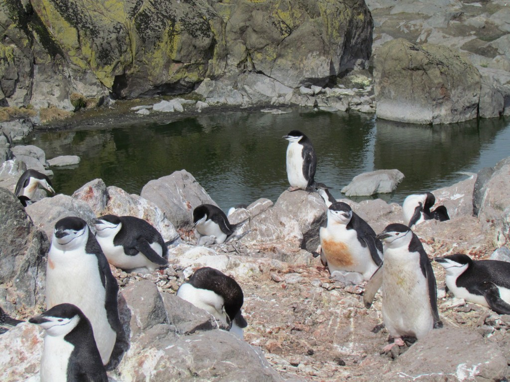 Pingwiny maskowe (pot. policjanci)