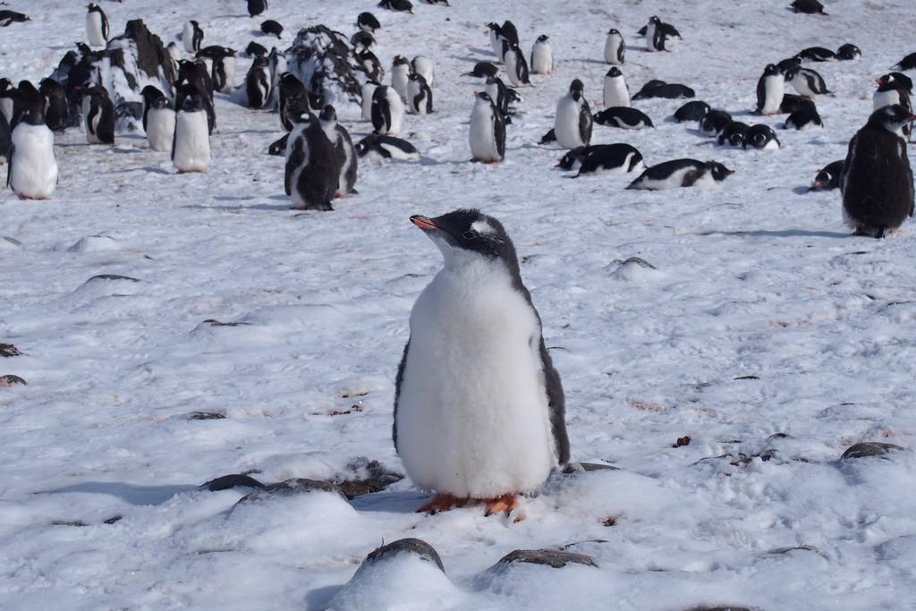 Młody pingwin białobrewy