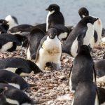 Pisklę pingwina Adeli
