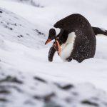 pingwin białobrewy