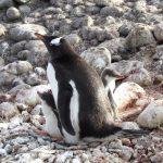 Młode pingwina białobrewego