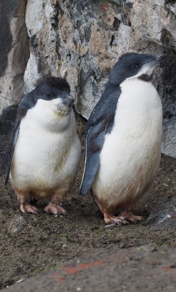 młode pingwiny Adeli