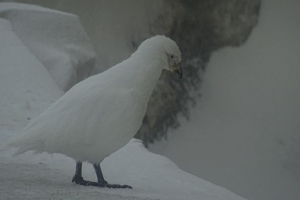 Pochwodziób biały