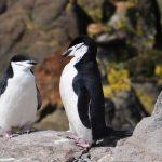 pingwiny maskowe