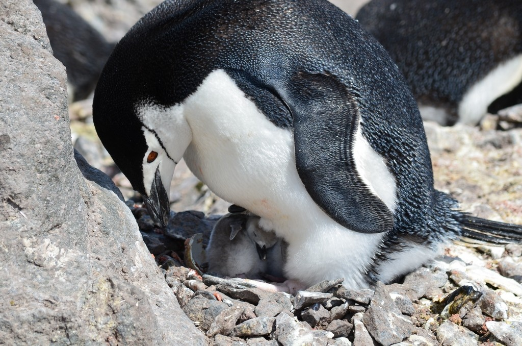 młode pingwina maskowego