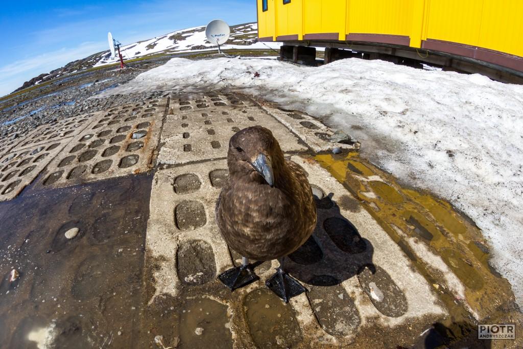 Wydrzyk antarktyczny