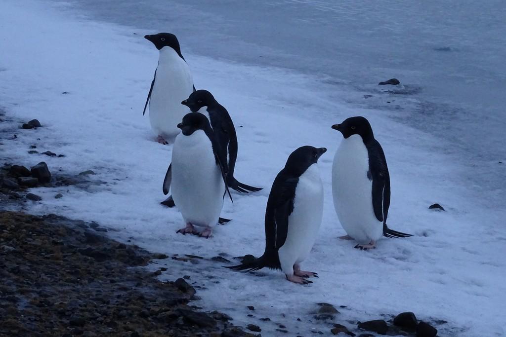 Adelki, czyli pingwiny Adeli