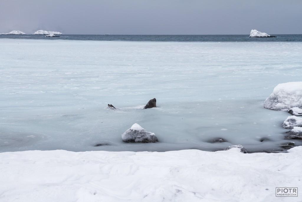 Słoniom morskim zimno nie straszne