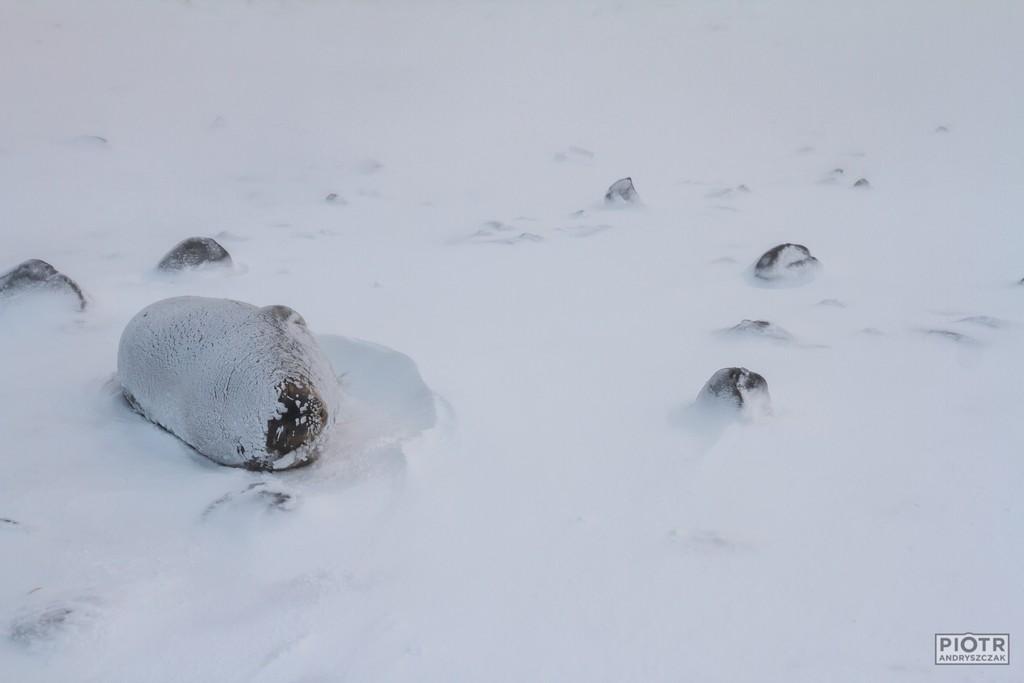 Zaśnieżona foka Weddella