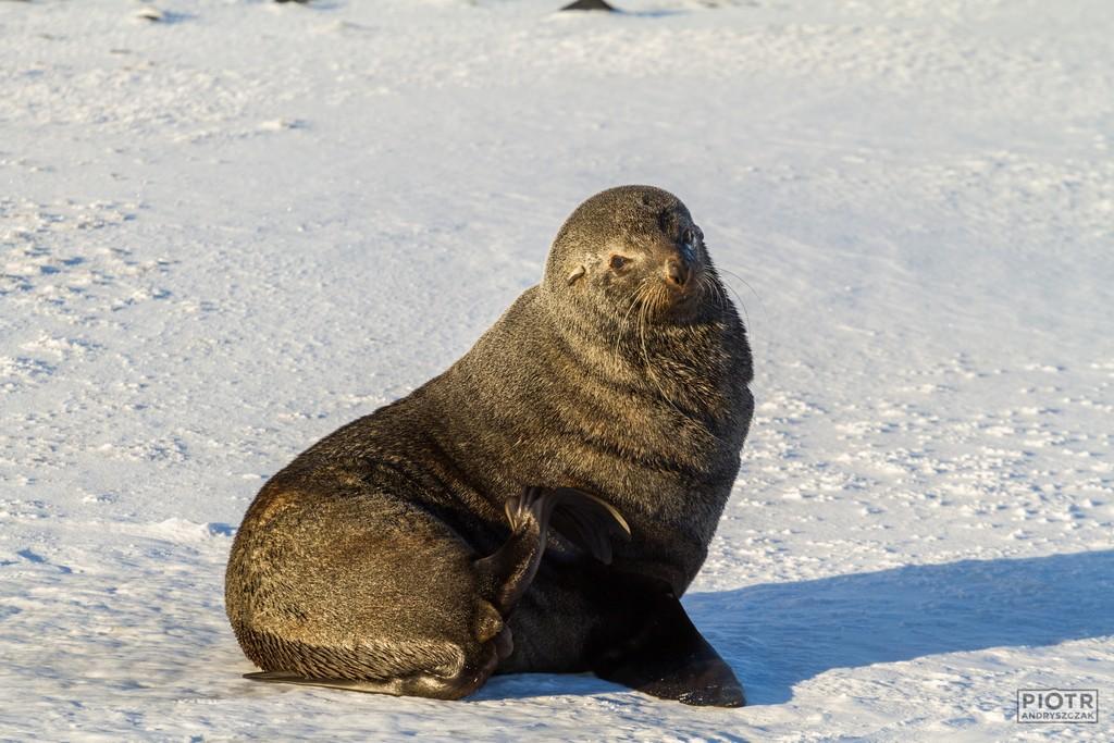 Uchatka antarktyczna