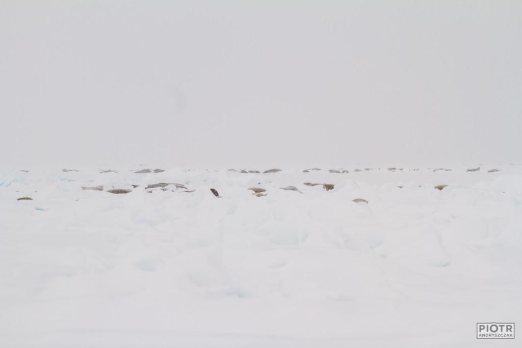 Stosy krabojadów