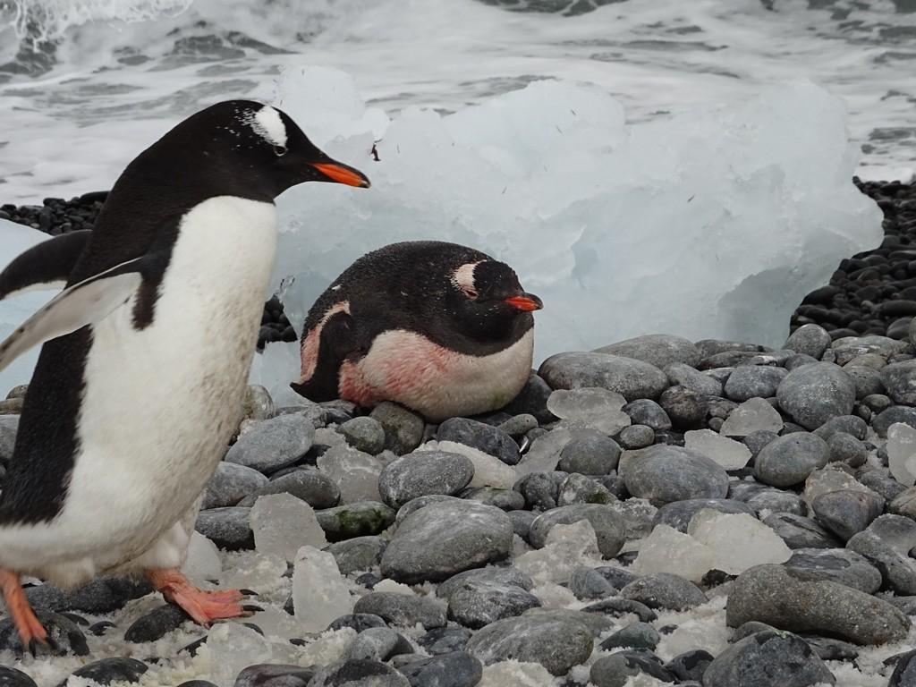 Najedzony pingwin białobrewy
